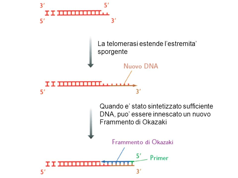 La telomerasi estende l'estremita'