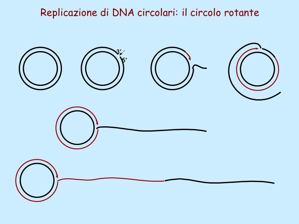 Replicazione di DNA circolari: il circolo rotante