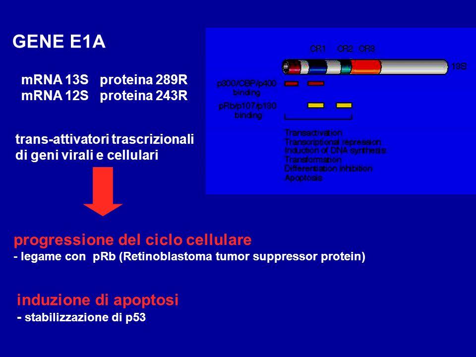 GENE E1A progressione del ciclo cellulare induzione di apoptosi