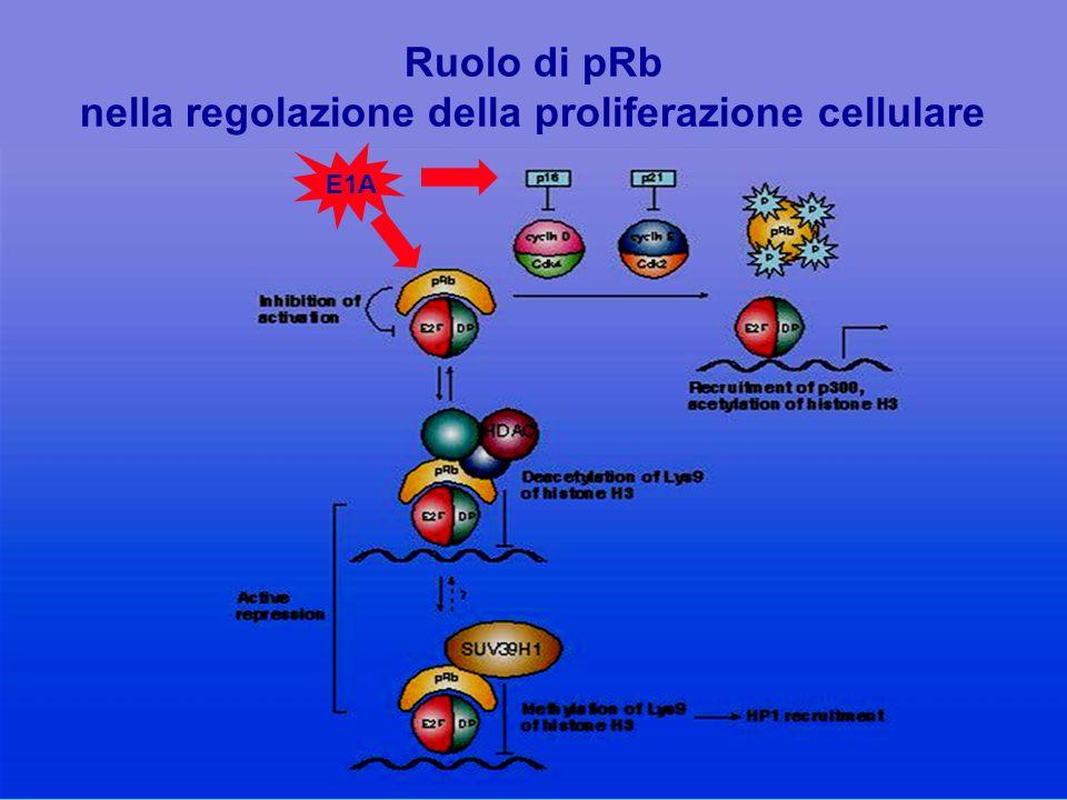nella regolazione della proliferazione cellulare