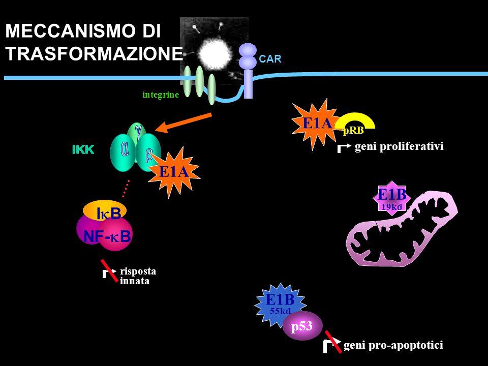MECCANISMO DI TRASFORMAZIONE g E1A a b E1A E1B IB NF-kB E1B p53