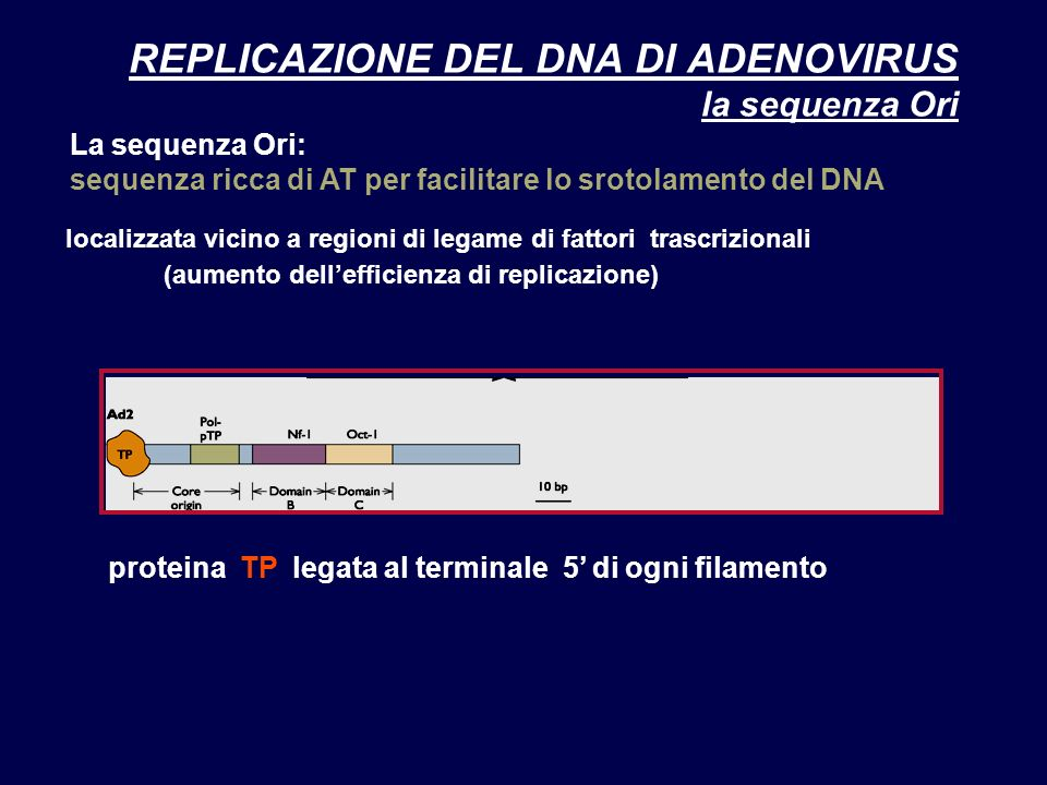REPLICAZIONE DEL DNA DI ADENOVIRUS la sequenza Ori