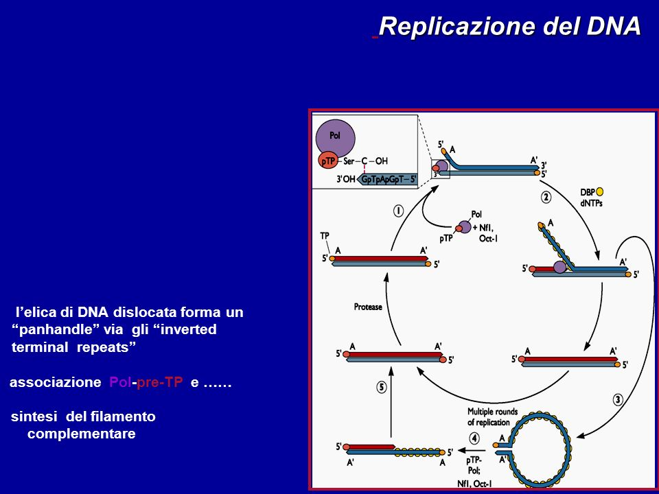 Replicazione del DNA l'elica di DNA dislocata forma un panhandle via gli inverted terminal repeats
