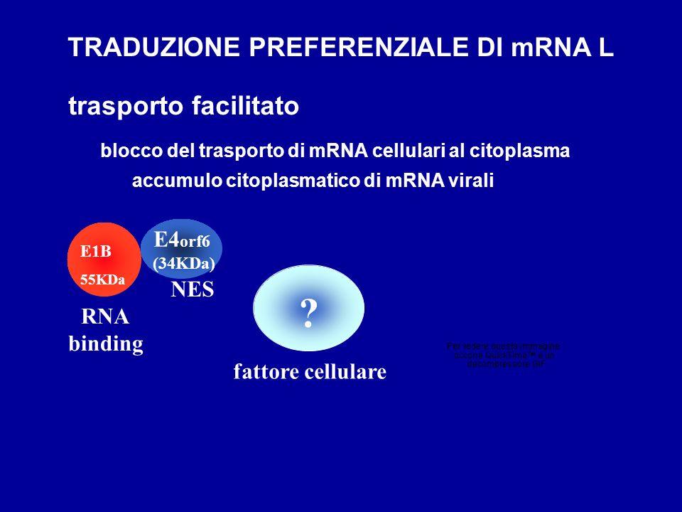 TRADUZIONE PREFERENZIALE DI mRNA L trasporto facilitato E4orf6 NES
