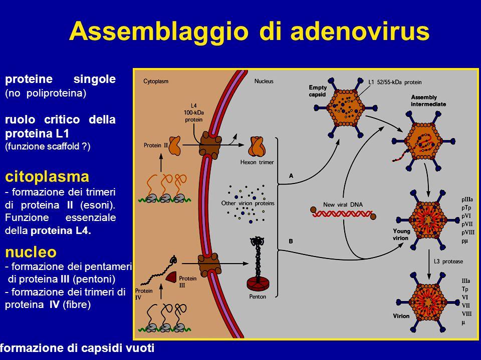 Assemblaggio di adenovirus