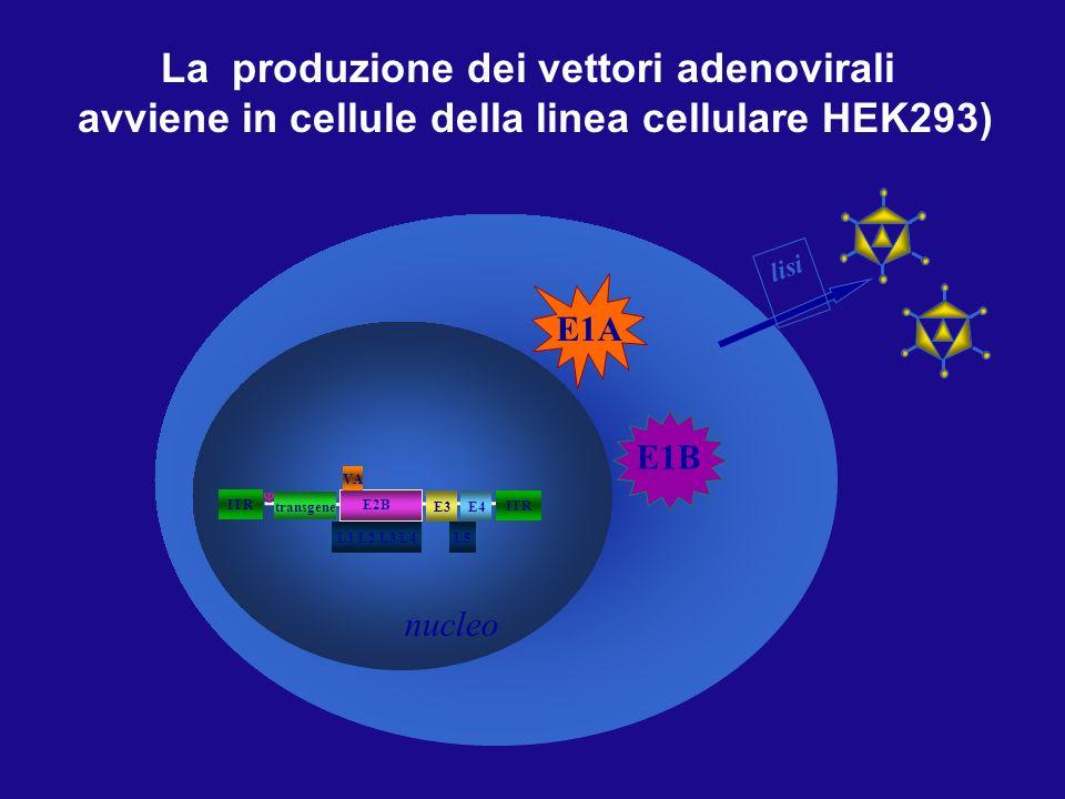 293 cell La produzione dei vettori adenovirali
