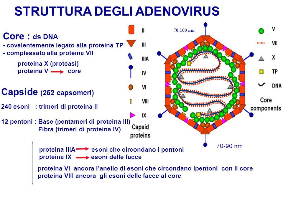 STRUTTURA DEGLI ADENOVIRUS