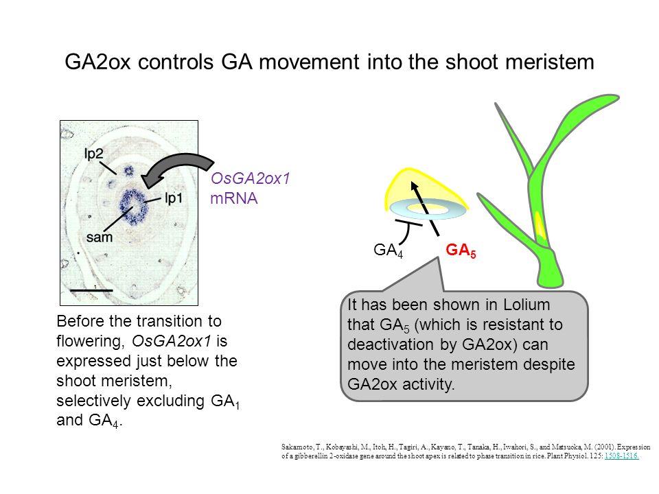 GA2ox controls GA movement into the shoot meristem