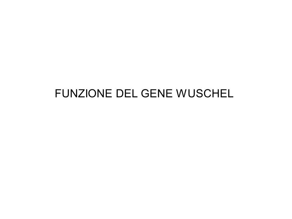 FUNZIONE DEL GENE WUSCHEL