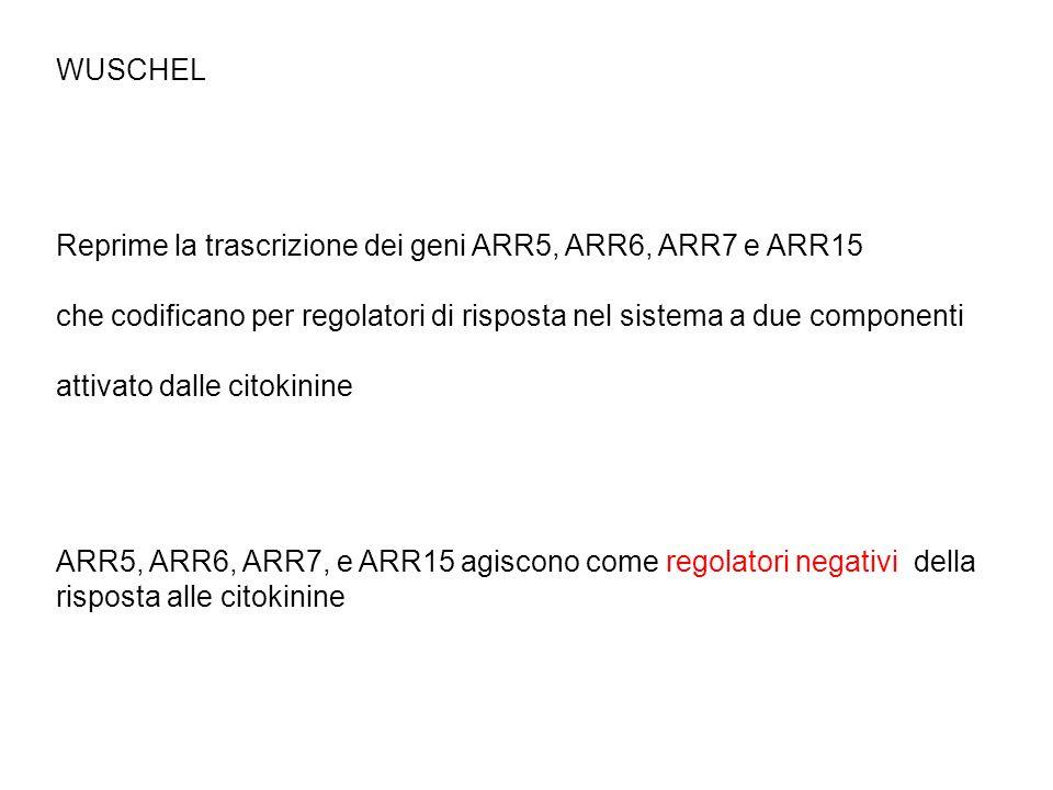 WUSCHEL Reprime la trascrizione dei geni ARR5, ARR6, ARR7 e ARR15. che codificano per regolatori di risposta nel sistema a due componenti.
