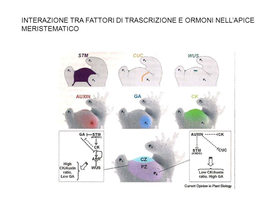 INTERAZIONE TRA FATTORI DI TRASCRIZIONE E ORMONI NELL'APICE