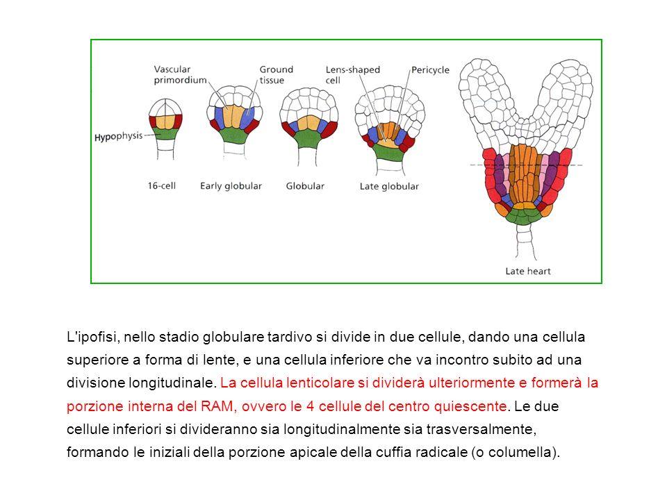 L ipofisi, allo stadio a cuore (=emersione degli abbozzi dei cotiledoni) si divide in due cellule, dando una cellula superiore a forma di lente, e una cellula inferiore che va incontro subito ad una divisione longitudinale. La cellula lenticolare si dividerà ulteriormente e formerà la porzione interna del RAM, ovvero le 4 cellule del centro quiescente. Le due cellule inferiori si divideranno sia longitudinalmente sia trasversalmente, formando le iniziali della porzione apicale della cuffia radicale (o columella).