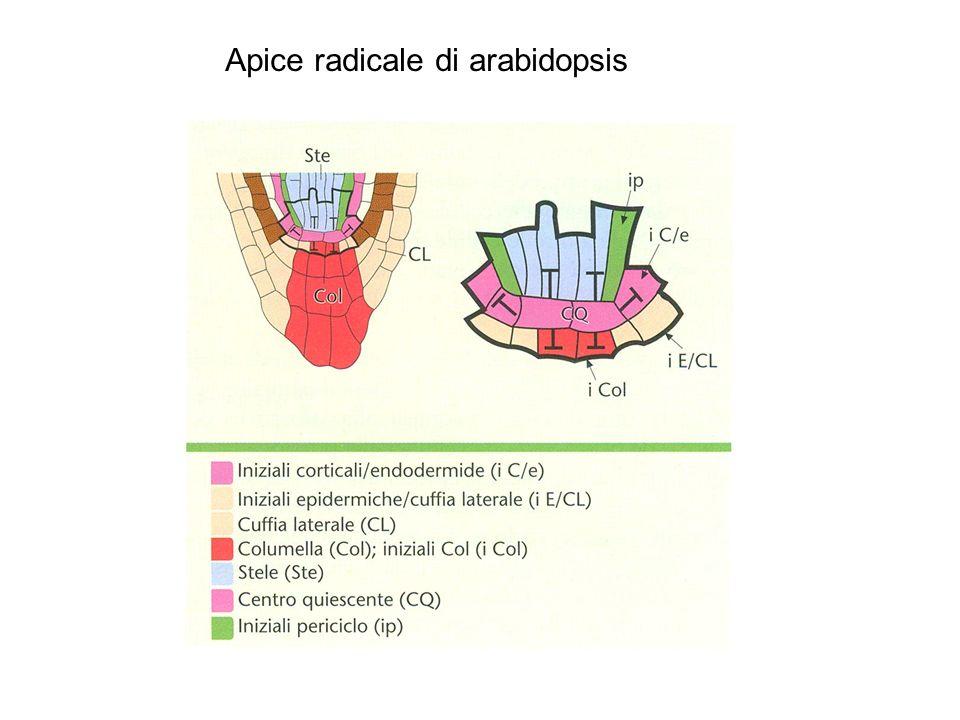 Apice radicale di arabidopsis