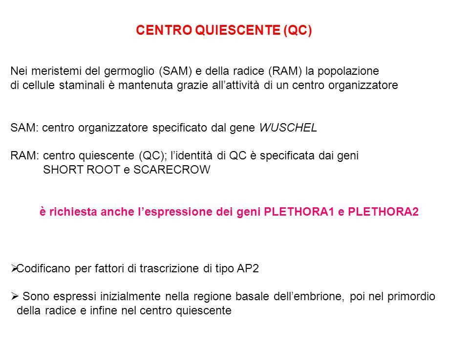 CENTRO QUIESCENTE (QC)