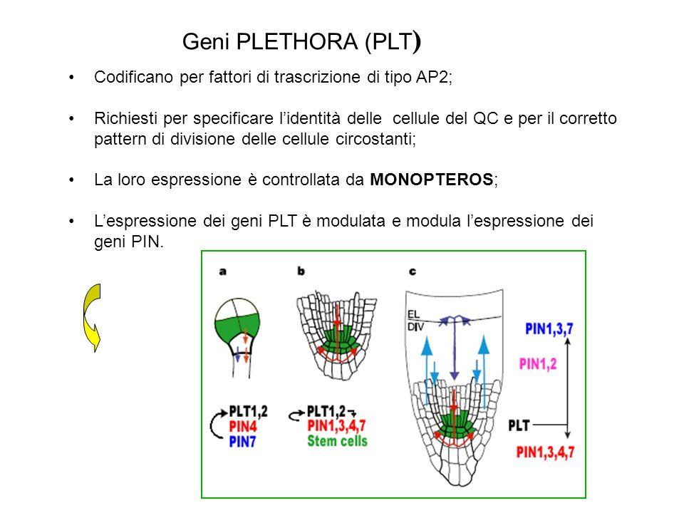Geni PLETHORA (PLT) Codificano per fattori di trascrizione di tipo AP2;