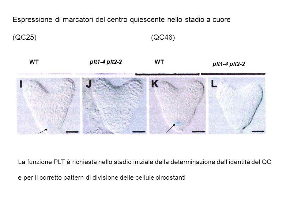 Espressione di marcatori del centro quiescente nello stadio a cuore