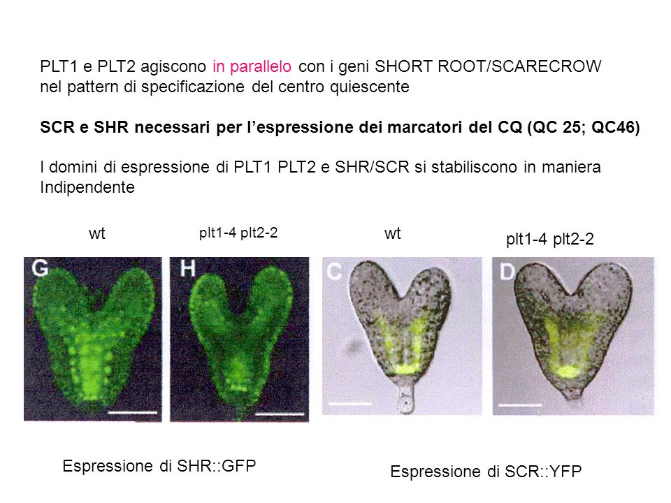 PLT1 e PLT2 agiscono in parallelo con i geni SHORT ROOT/SCARECROW