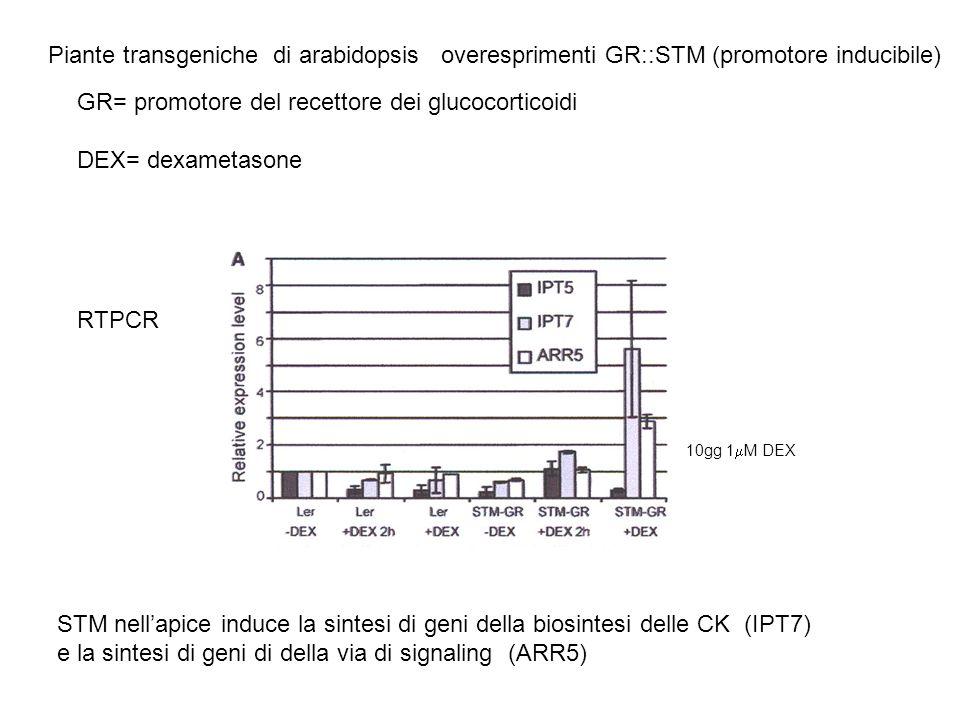 GR= promotore del recettore dei glucocorticoidi DEX= dexametasone