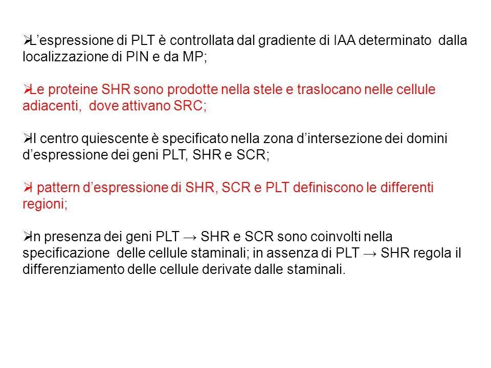 L'espressione di PLT è controllata dal gradiente di IAA determinato dalla