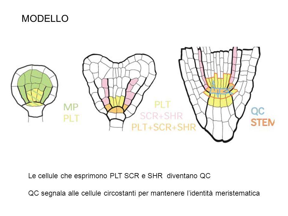 MODELLO Le cellule che esprimono PLT SCR e SHR diventano QC