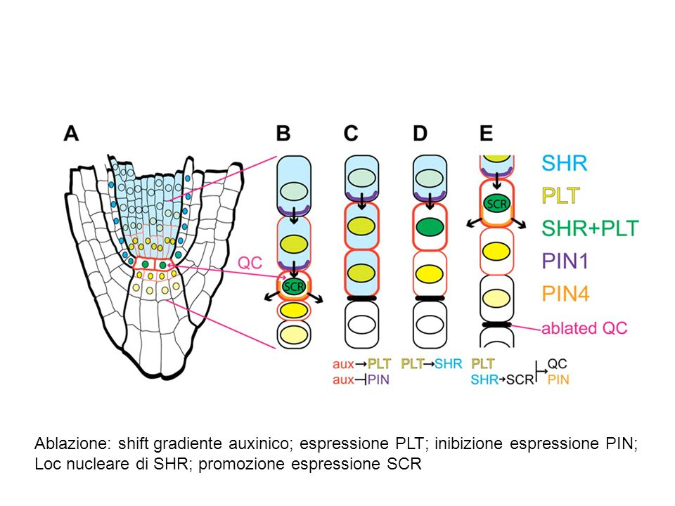 Ablazione: shift gradiente auxinico; espressione PLT; inibizione espressione PIN;