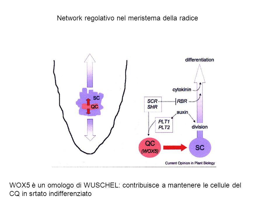 Network regolativo nel meristema della radice