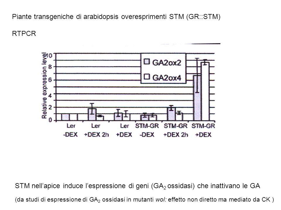 Piante transgeniche di arabidopsis overesprimenti STM (GR::STM) RTPCR