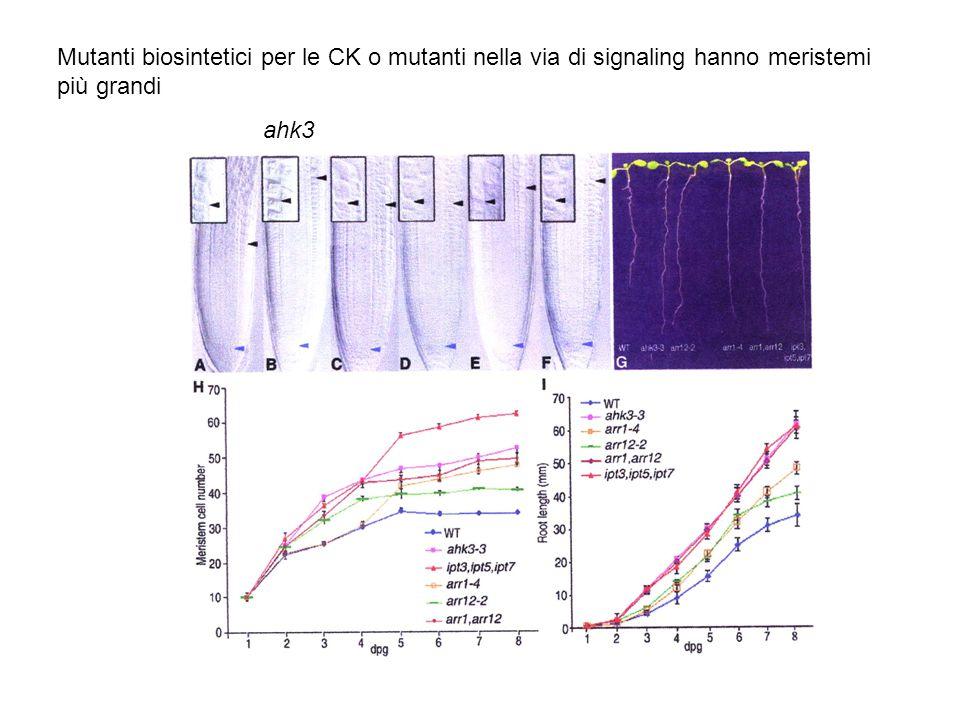 Mutanti biosintetici per le CK o mutanti nella via di signaling hanno meristemi
