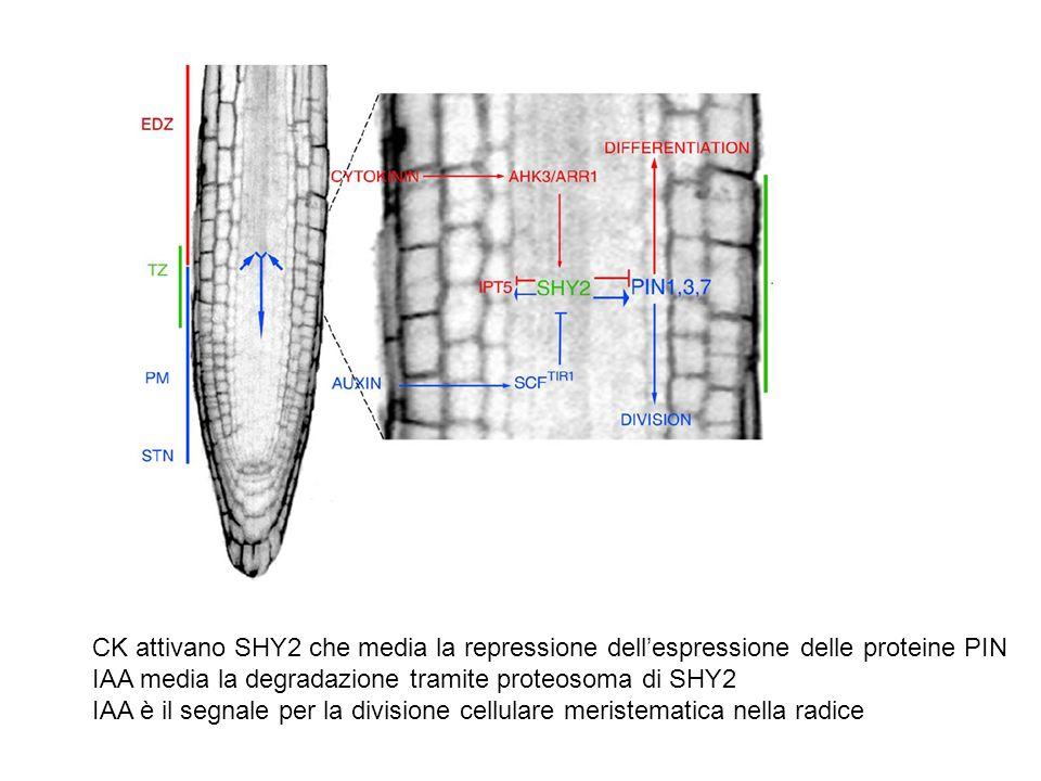 CK attivano SHY2 che media la repressione dell'espressione delle proteine PIN
