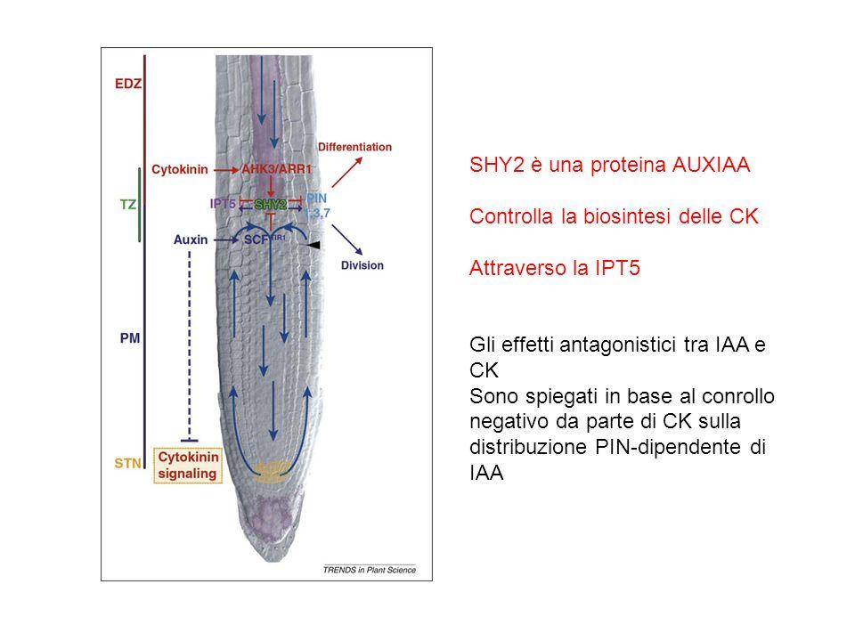 SHY2 è una proteina AUXIAA