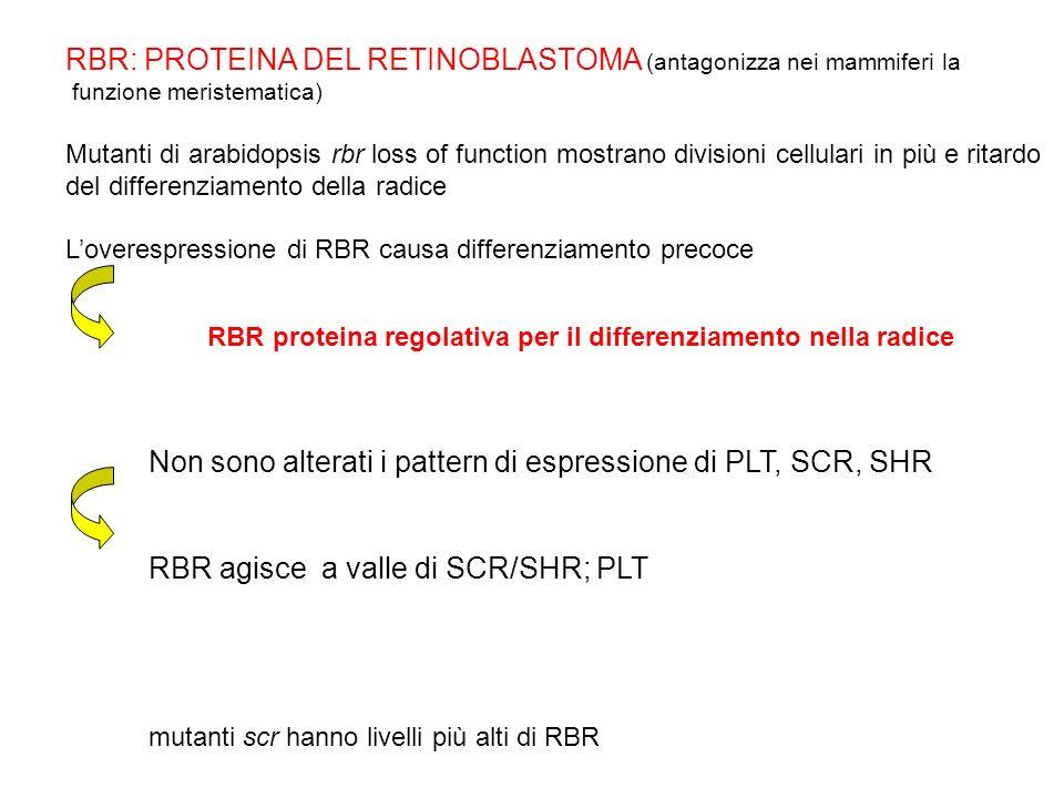 RBR: PROTEINA DEL RETINOBLASTOMA (antagonizza nei mammiferi la