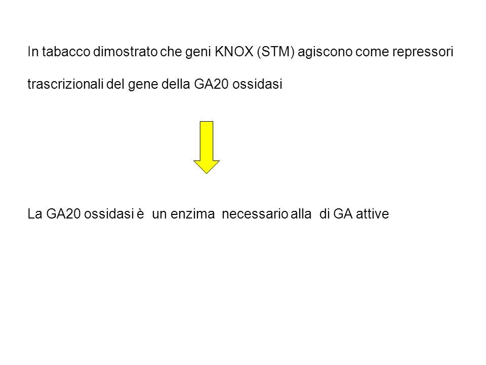 In tabacco dimostrato che geni KNOX (STM) agiscono come repressori