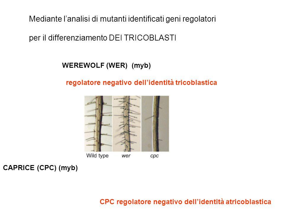 Mediante l'analisi di mutanti identificati geni regolatori