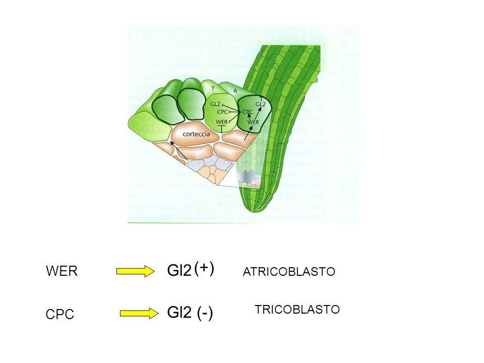Gl2 (+) WER ATRICOBLASTO Gl2 (-) TRICOBLASTO CPC