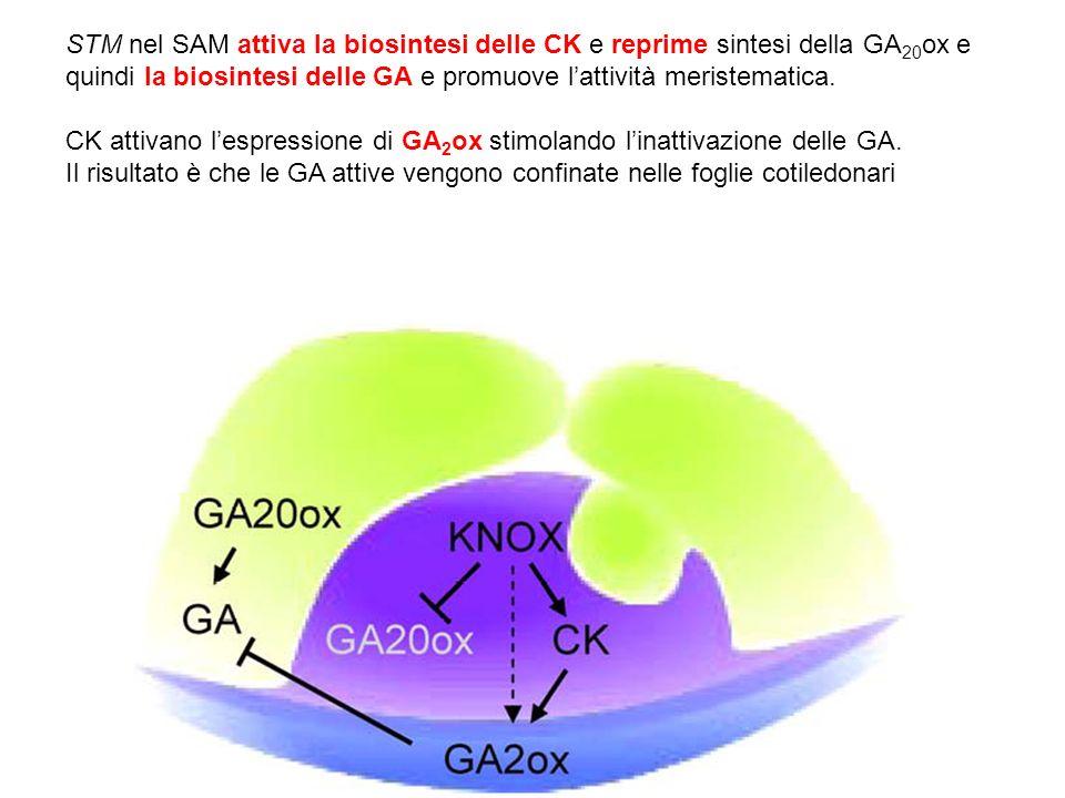 STM nel SAM attiva la biosintesi delle CK e reprime sintesi della GA20ox e quindi la biosintesi delle GA e promuove l'attività meristematica.
