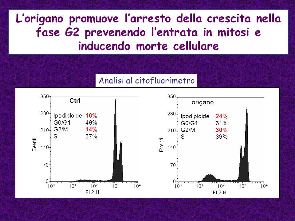 L'origano promuove l'arresto della crescita nella fase G2 prevenendo l'entrata in mitosi e inducendo morte cellulare