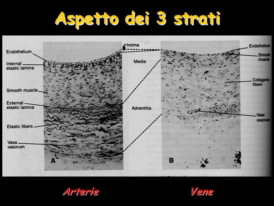 Aspetto dei 3 strati Arterie Vene