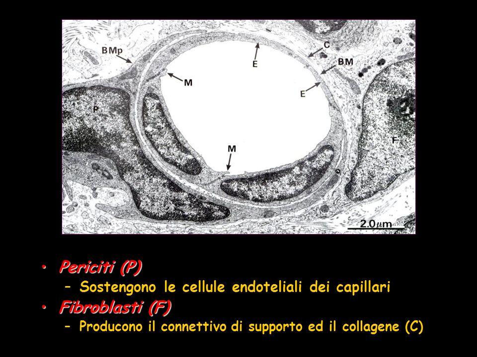 Periciti (P) Fibroblasti (F)