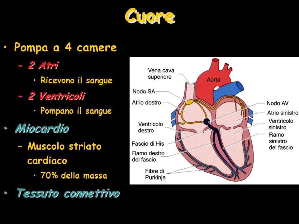 Cuore Pompa a 4 camere Miocardio Tessuto connettivo 2 Atri