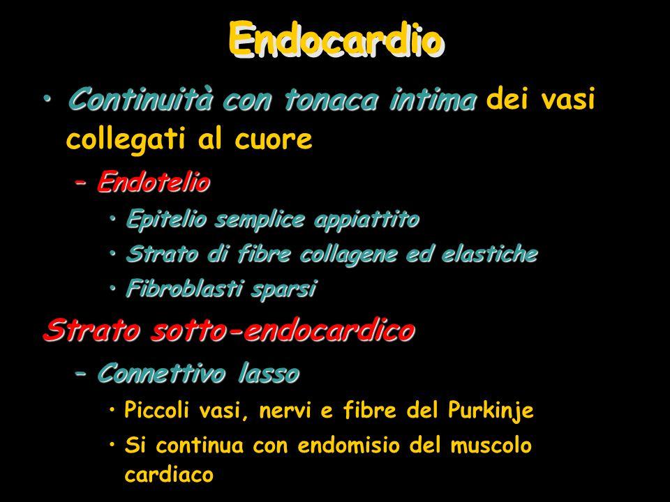 Endocardio Continuità con tonaca intima dei vasi collegati al cuore