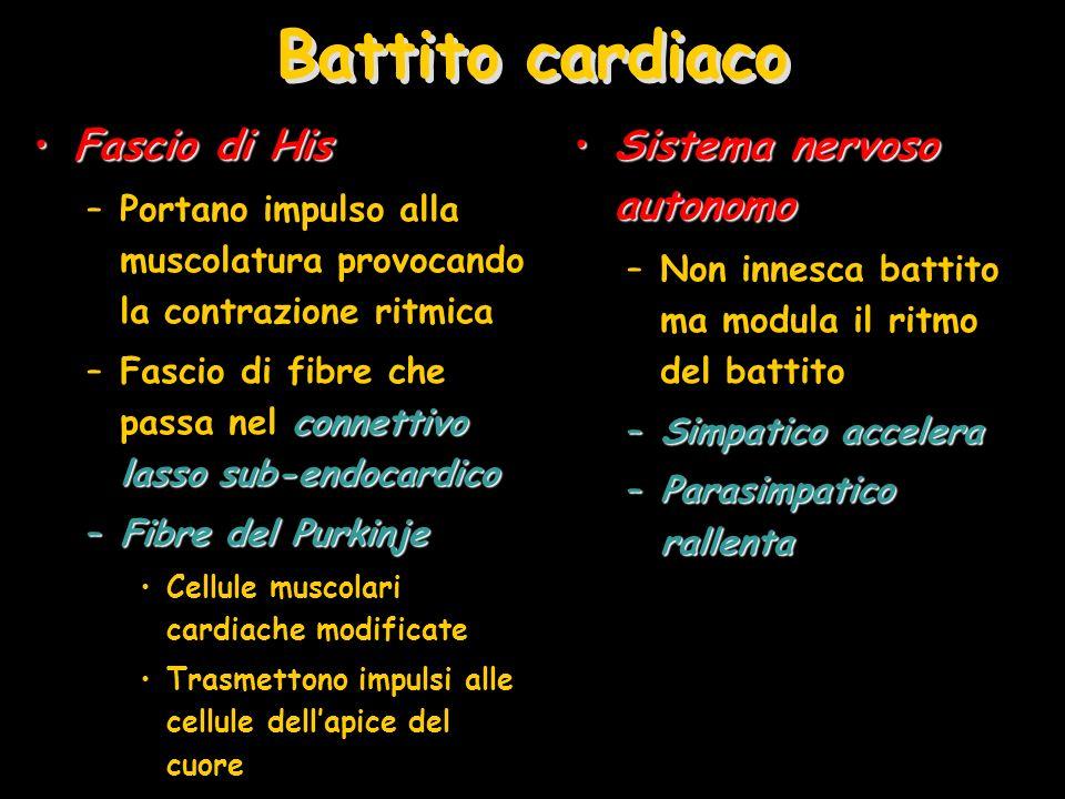 Battito cardiaco Fascio di His Sistema nervoso autonomo