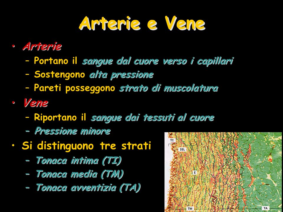 Arterie e Vene Arterie Vene Si distinguono tre strati