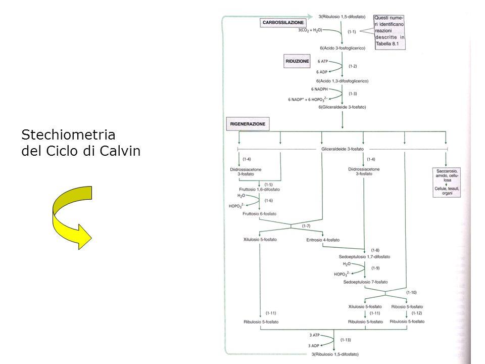 Stechiometria del Ciclo di Calvin