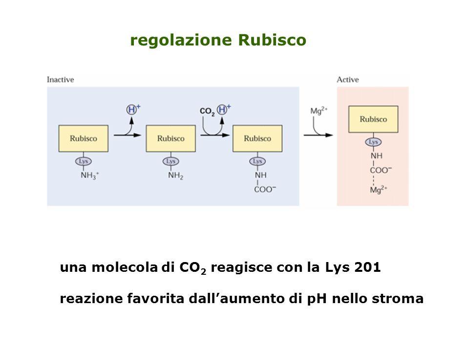 regolazione Rubisco una molecola di CO2 reagisce con la Lys 201