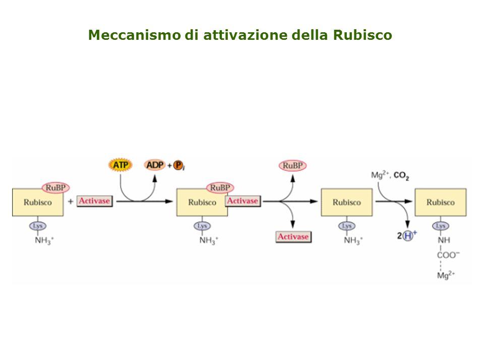 Meccanismo di attivazione della Rubisco