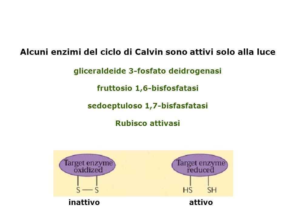 Alcuni enzimi del ciclo di Calvin sono attivi solo alla luce