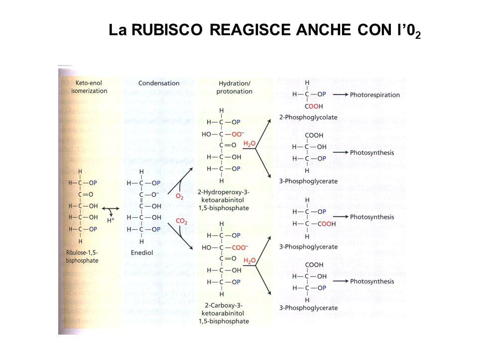 La RUBISCO REAGISCE ANCHE CON l'02