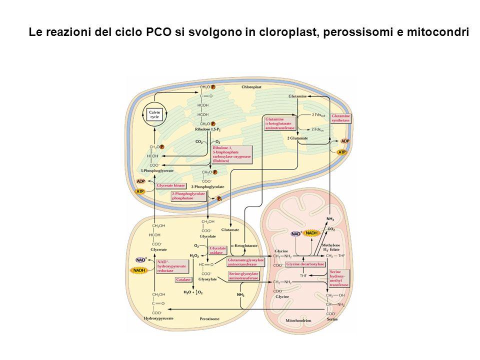 Le reazioni del ciclo PCO si svolgono in cloroplast, perossisomi e mitocondri