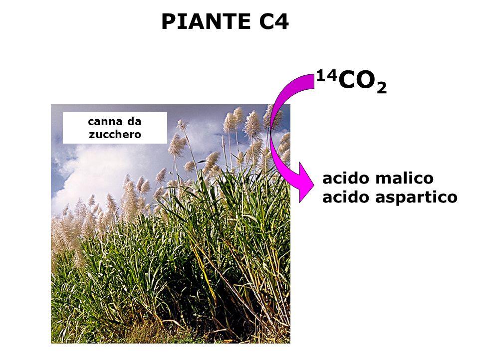 PIANTE C4 14CO2 canna da zucchero acido malico acido aspartico