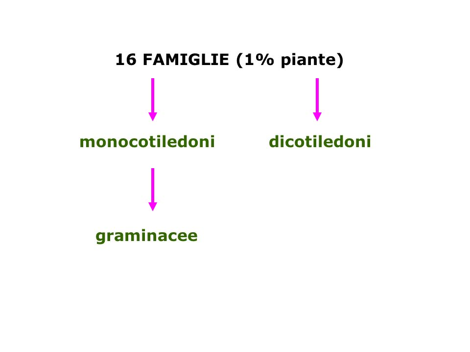 16 FAMIGLIE (1% piante) monocotiledoni dicotiledoni graminacee